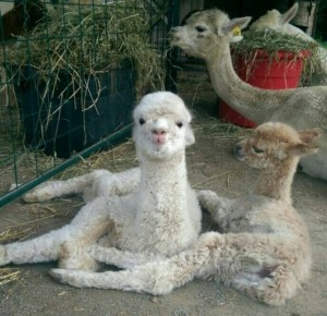Cria together