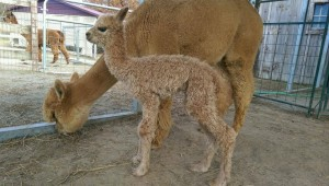 cria and mom